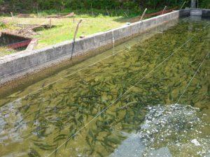 トラウト養魚場管理・運営事業
